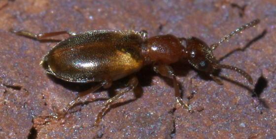 Reddish brown antlike flower beetle (2) - Omonadus floralis