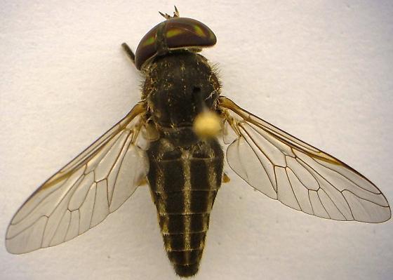 Horse Fly - Tabanus lineola - female