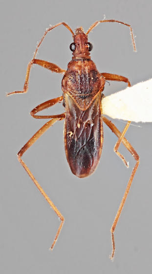 Macroviliidae - Macrovelia hornii