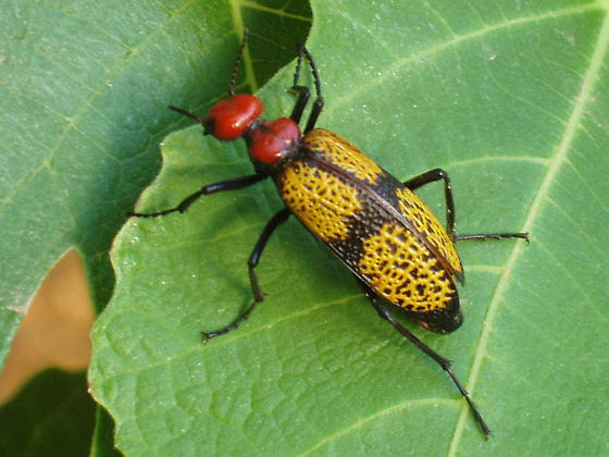 Unknown beetle - Tegrodera aloga