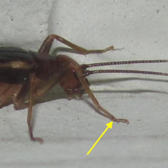 Belfrage's cricket - Trigonidomimus belfragei - Trigonidomimus belfragei - female