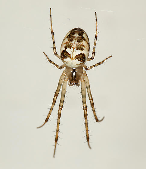 brown and white spider - Metellina segmentata - female