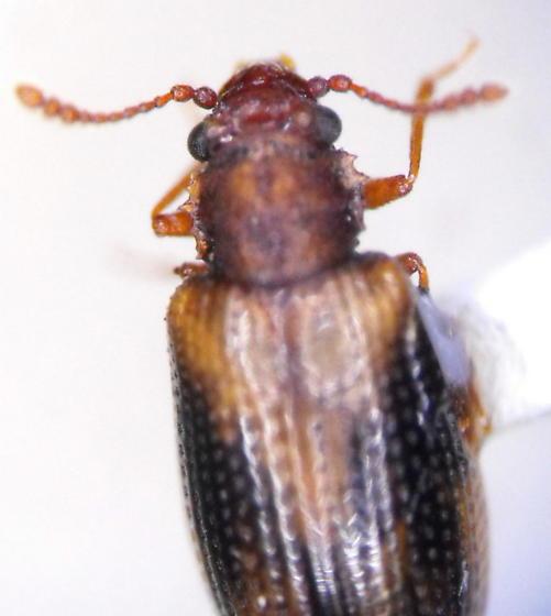 Derodontus - Derodontus trisignatus
