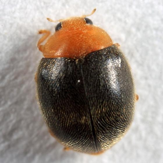 Scymnus kansanus? - Scymnus kansanus - female