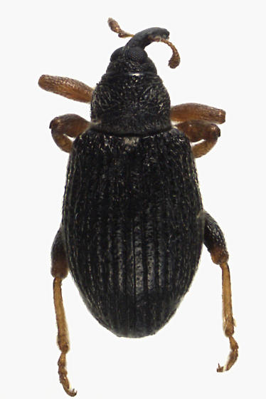 Weevil Beetle - Isochnus sequensi