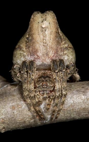 Spider - Ocrepeira