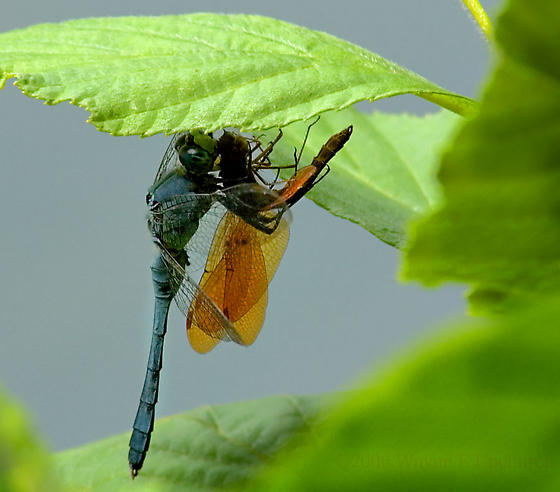 Tough Love.. Yummm. - Erythemis simplicicollis - male
