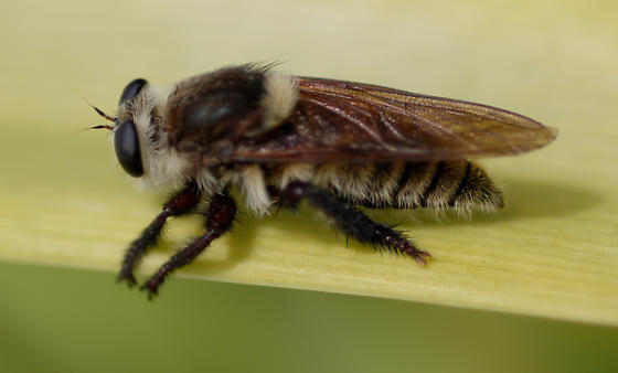 Large Bee - Mallophora fautrix