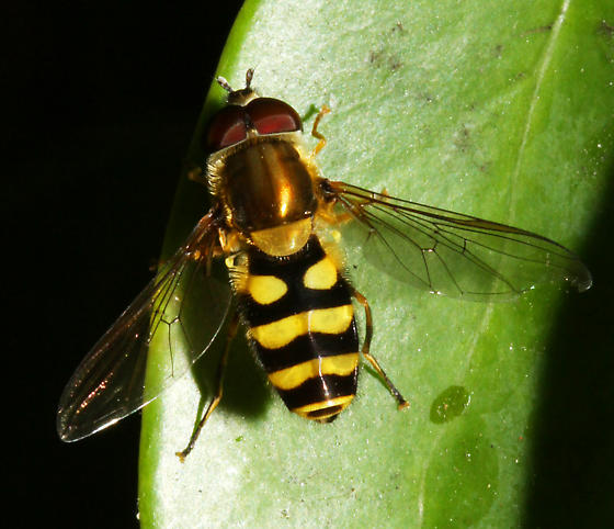 unidentified Syrphidae