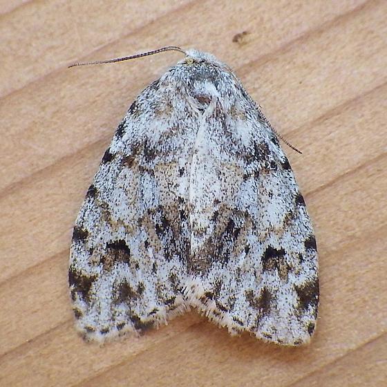 Erebidae: Clemensia albata - Clemensia umbrata
