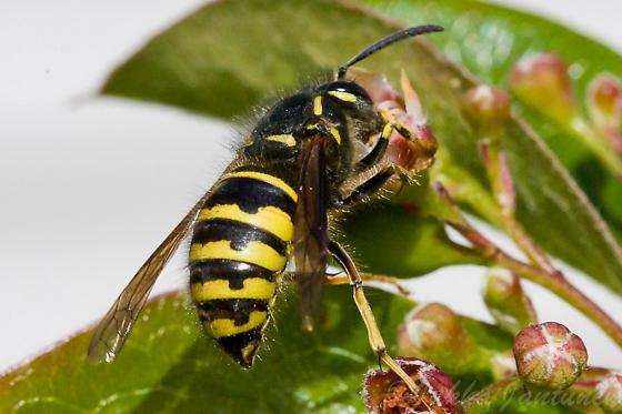 yellowjacket sp - Dolichovespula alpicola - female