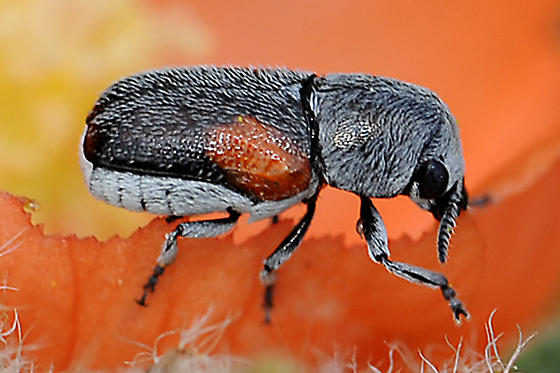 Coleothorpa on Copper Mallow - Coleothorpa