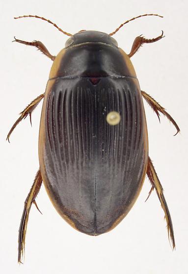 Dytiscus carolinus - female
