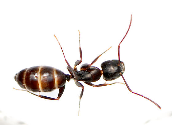 unknown brown and black ant - Camponotus