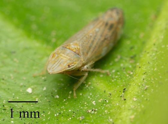 Leafhopper in La Habra California4 - Scaphytopius nr-majestus