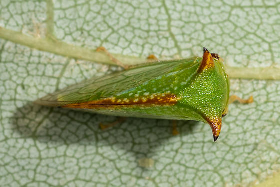 Buffalo tree hopper - Stictocephala