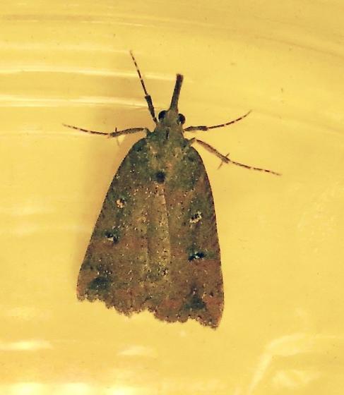 Moth - possibly Hypena - Hypena californica