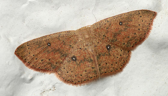 Moth for ID - Cyclophora myrtaria