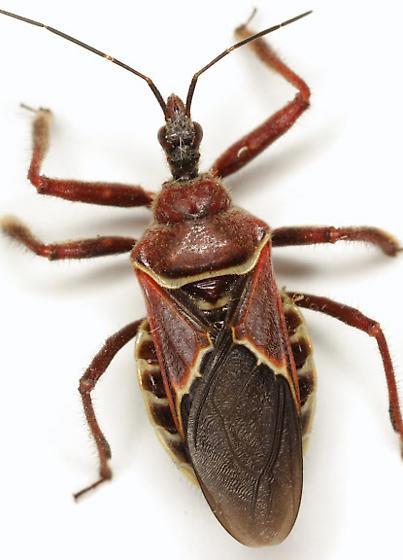 Apiomerus spissipes (Say) - Apiomerus spissipes