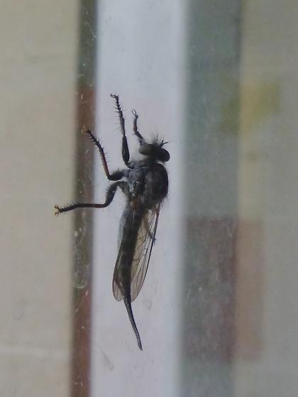 robber fly--long ovipositor or pointy abdomen?