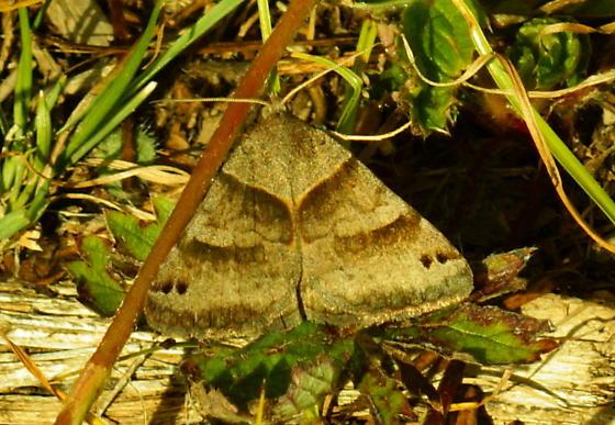 Day Flying moth - Caenurgina crassiuscula