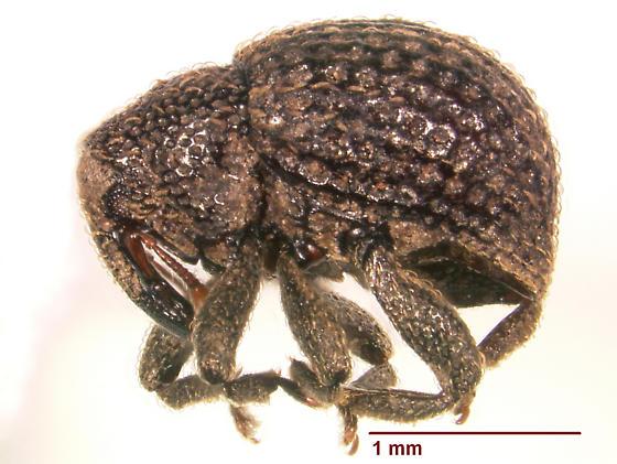 Eurhoptus pyriformis