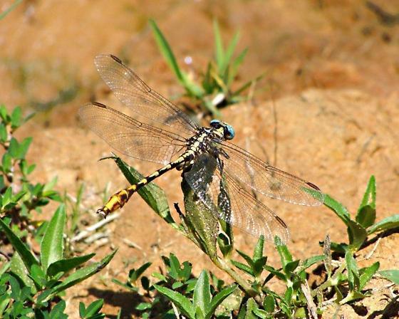 Sulphur-tipped Clubtail  - Phanogomphus militaris - male