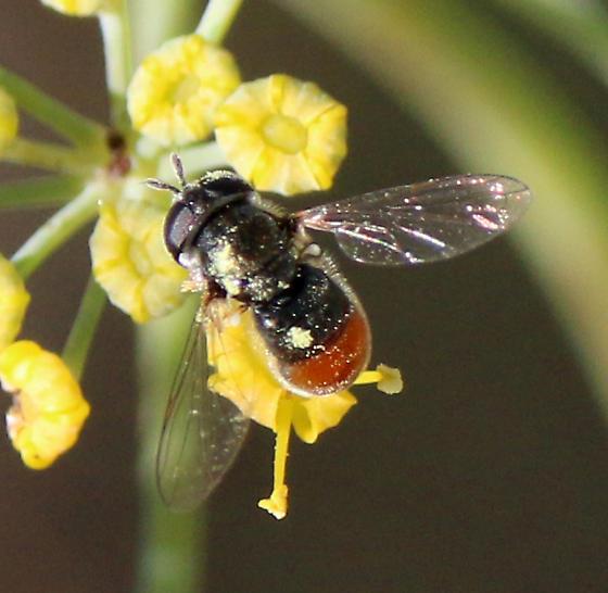 Syrphidae Paragus haemorrhous?  - Paragus haemorrhous - female