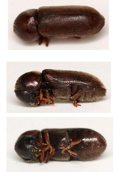 death-watch beetle - Ptilinus ruficornis - female