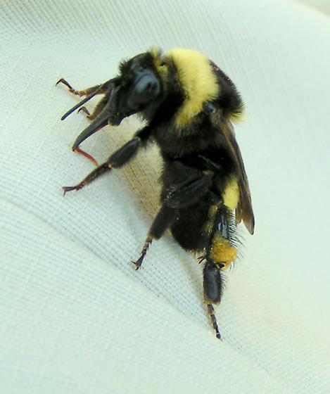 Queen Bumblebee - Bombus auricomus - female