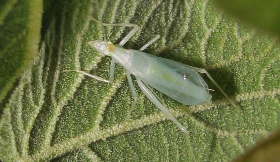 Narrow-winged tree cricket - 44th day   - Oecanthus niveus - male
