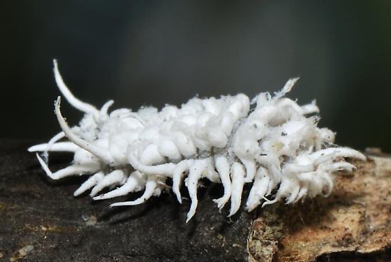 Fuzzy white larvae