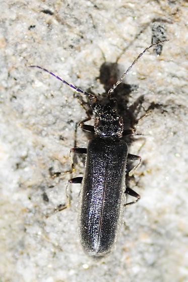 Alpine soldier beetle - Dichelotarsus heteronychus