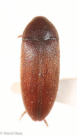 Synchroidae - Orchesia
