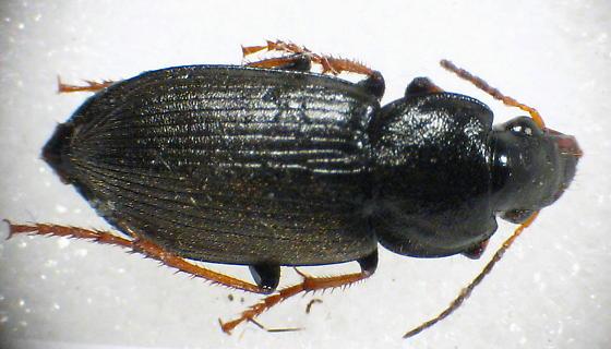 glossy black carabid - Amphasia sericea - female