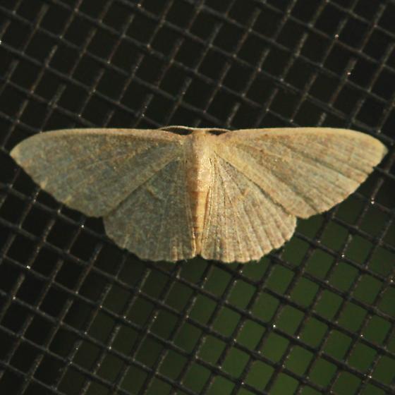 Dot-lined Wave - Hodges#7122 - Dorsal - Idaea tacturata - male