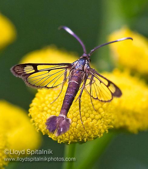 Clearwing Moth - Synanthedon acerrubri