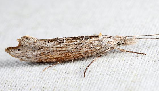 Ypsolopha falciferella