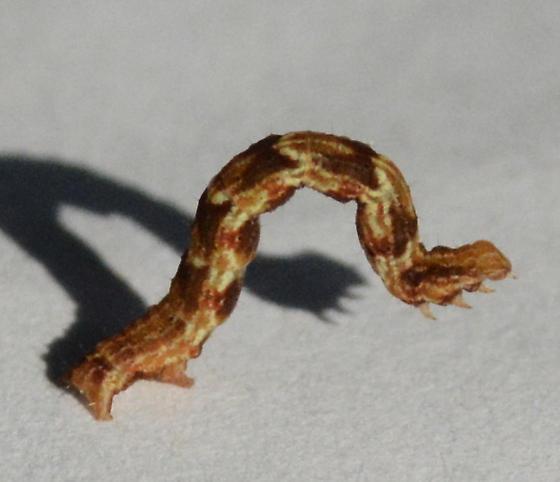 2 Looper Caterpillars on Raspberry - Pleuroprucha insulsaria