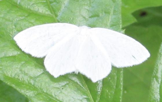 White Moth HP 7/3/17 - Eugonobapta nivosaria