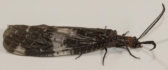 ?Snakefly - Nigronia fasciata