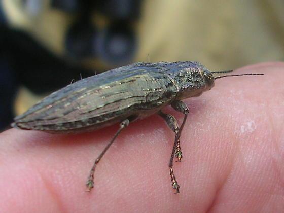 Beetle ID Please - Texania campestris