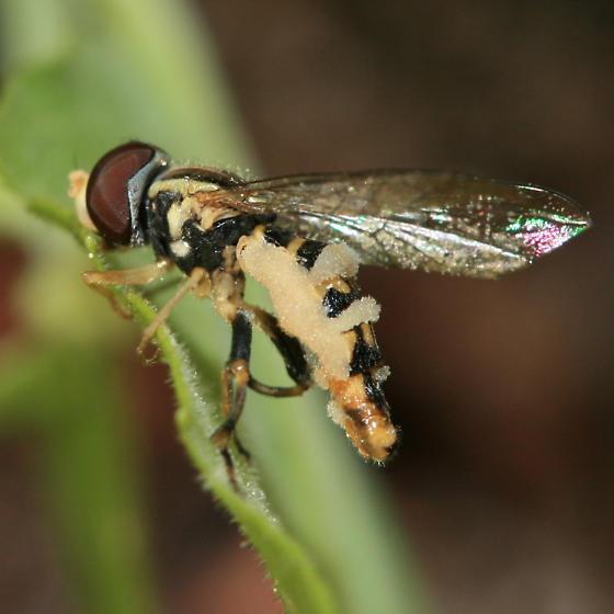 Fungus-ridden Syrphid Fly - Toxomerus geminatus
