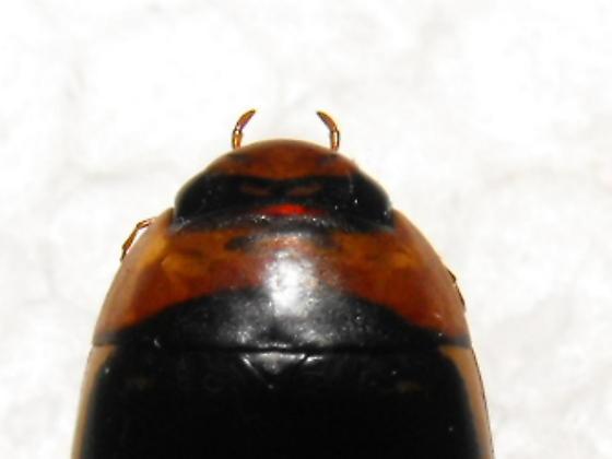 Predaceous Diving Beetle - Hydaticus aruspex - male