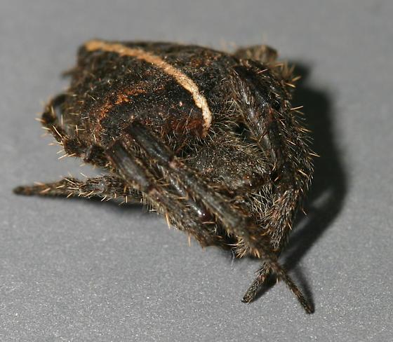 Orbweaver - Eriophora edax - female