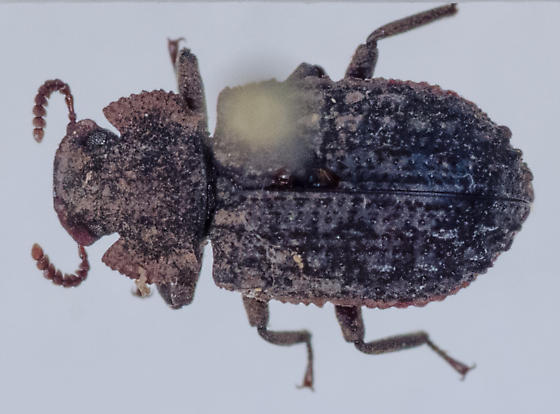 Beetle for ID - Bolitophagus corticola