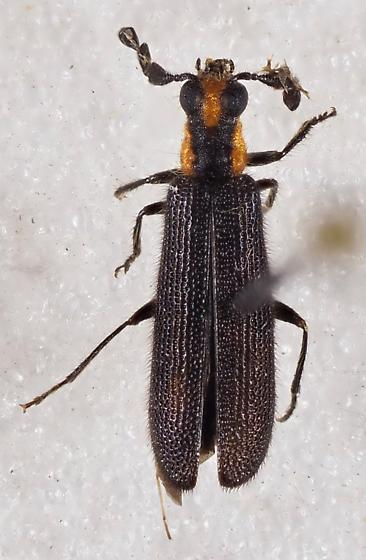 Clerid Beetle - Pyticeroides laticornis