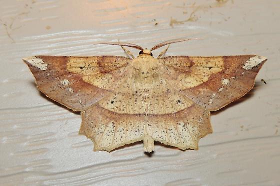 Deep Yellow Euchlaena - Hodges#6733 for April - Euchlaena amoenaria - male