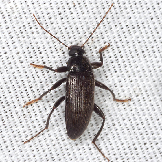Claw-combed Beetle ? - Lobopoda socia