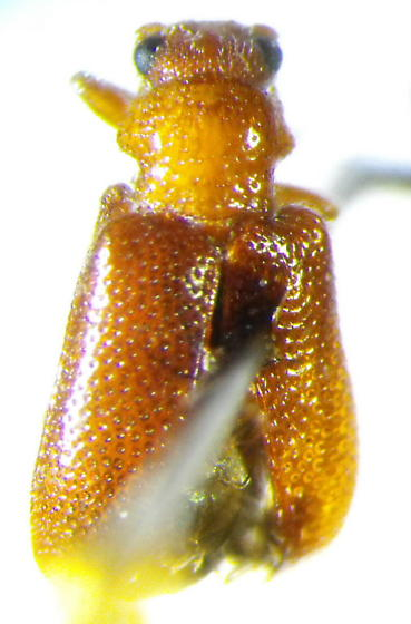 Chrysomelid - Zeugophora abnormis